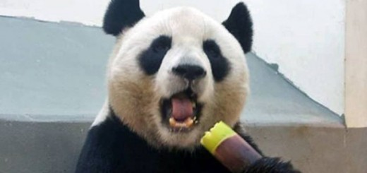 yuan-yuna-panda