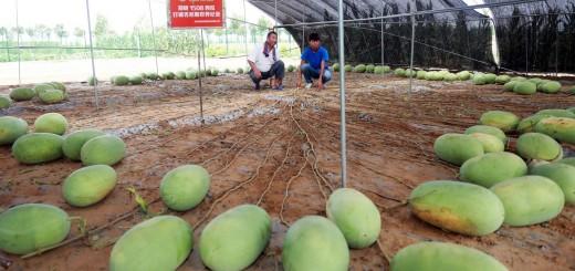 arbuzo-auginimas