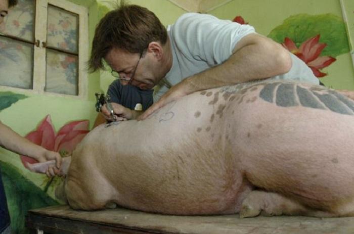 kiaules-tatuiravimas