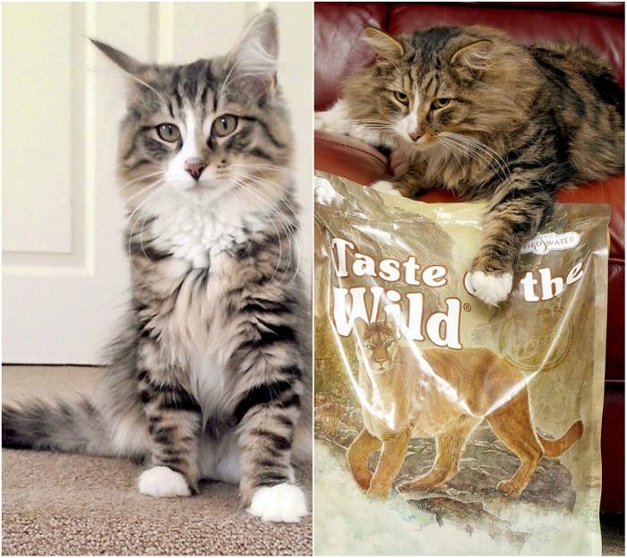 nutukęs katinas, didelis katinas, kačių maistas